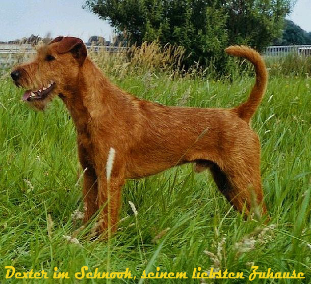 Irish Terrier Welpen